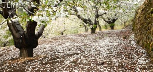 cerezo-flor-2016