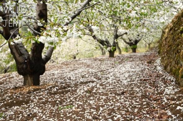 cerezo-flor-2015